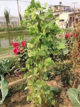 Hotel Monalisa Chitwan: Organic peas in our garden