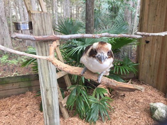 Kenansville, Floride : A kookaburra... amazing to hear its call live!