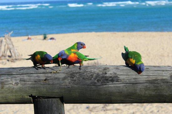 Tuross Head, Avustralya: Friendly Lorikeets in front of our caravan.