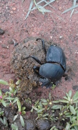 Waterberg, South Africa: Dung beetle (scarab) with dungball