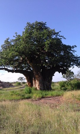 Limpopo Province, Afrika Selatan: Majestic Baobab tree