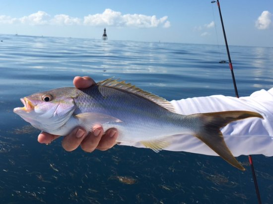 Ramrod Key, Floride : Big Yellowtails are quite abundant on the reef line.