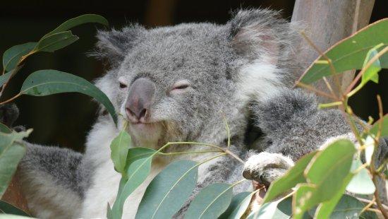 Blacktown, Australia: koala