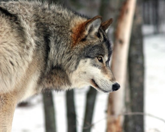 Ely, Minnesota: Grizzer...ambassador wolf at International Wolf a Center from 2006....now retired.