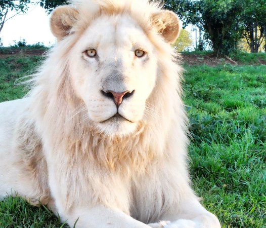 Harrismith, แอฟริกาใต้: This is a beautiful white lion named Moya, he's very curious and stunning!