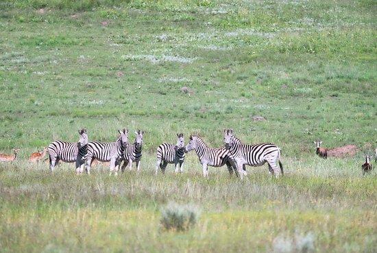 Harrismith, แอฟริกาใต้: Zebras