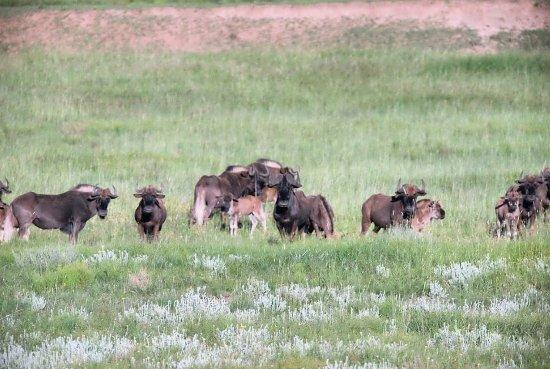 Harrismith, Sør-Afrika: wildebeests