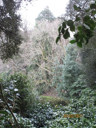 Trebah Garden : Magnificent magnolia coming into flower (February 2017)