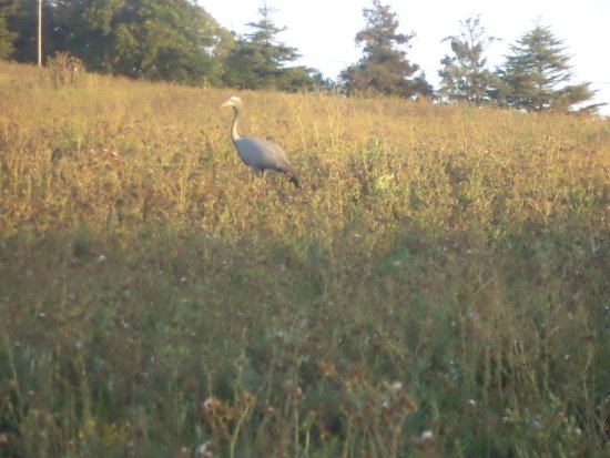 Grabouw, Νότια Αφρική: On the way to the restaurant we spotted this Blue Crane, South Africa's National bird.
