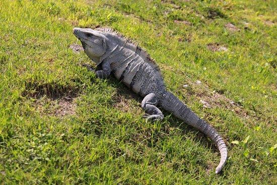 Cayo, Belize: Iguana