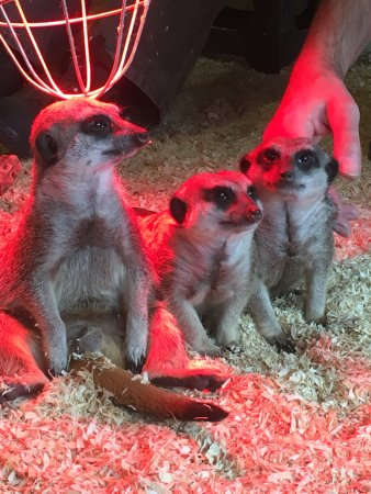 Stretham, UK: Meerkats