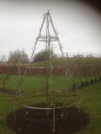 Wisley, UK: Work out how to train a pyramid apple tree...