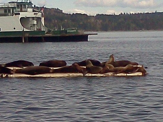 Qualicum Beach, Canada: Sea lions..Fanny bay
