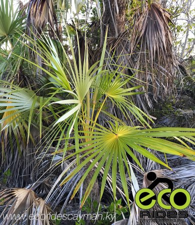 East End, Gran Caimán: The Silver Thatch Palm the national tree of the Cayman Islands. Learn more about this and more w