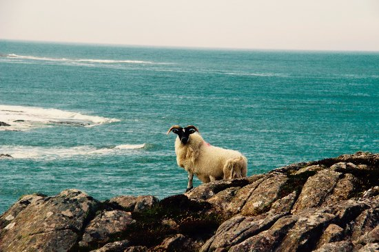 Isle of Colonsay, UK: Sheep on the rocks at Ardskenish