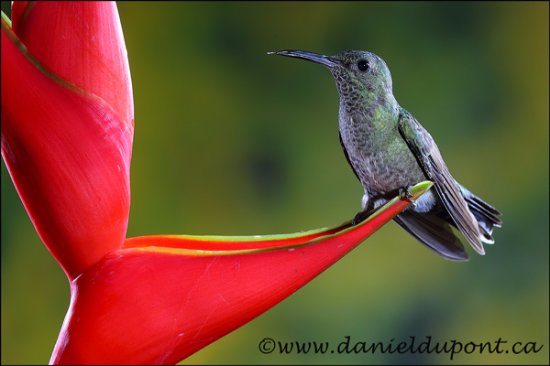 La Virgen, Costa Rica : Colibri hummingbirds (photo copyright Daniel Dupont)