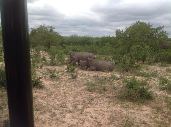Hoedspruit, Sydafrika: Poachers will be de-horned. Rehabilitated Rhinos