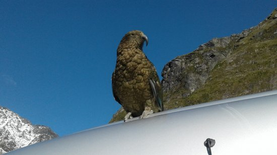Te Anau, New Zealand: A Kea up close and personal at the top of the Homer Tunnel.