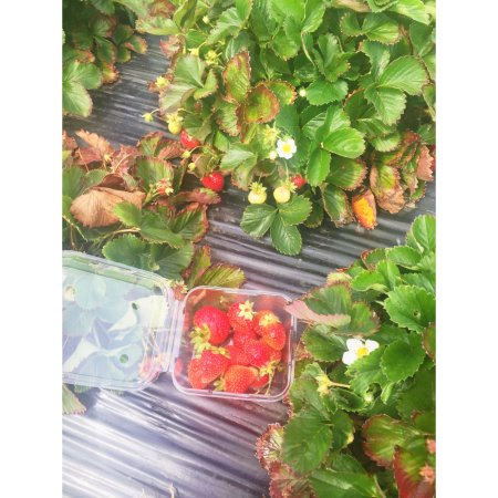 Coles Bay, Australia: Hand picking strawberries