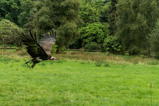 Ravenglass, UK: Vulture in the bird show