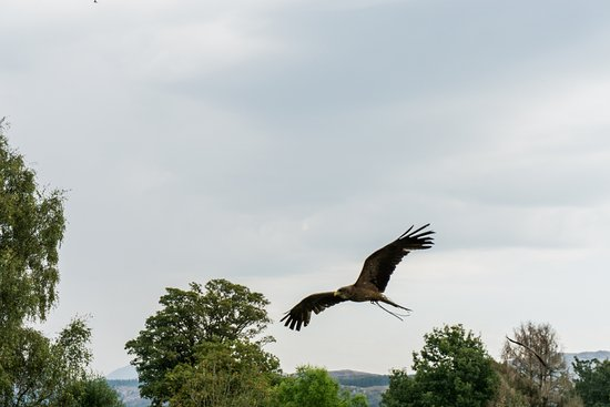 Ravenglass, UK: Kite in the bird show