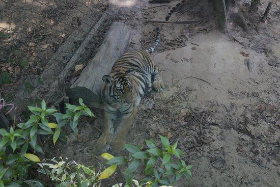 Phu Quoc, Vietnam: tiger