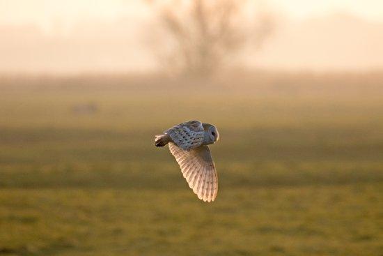 The Victoria Inn: Barn Owl at dawn Lady Anne Drive