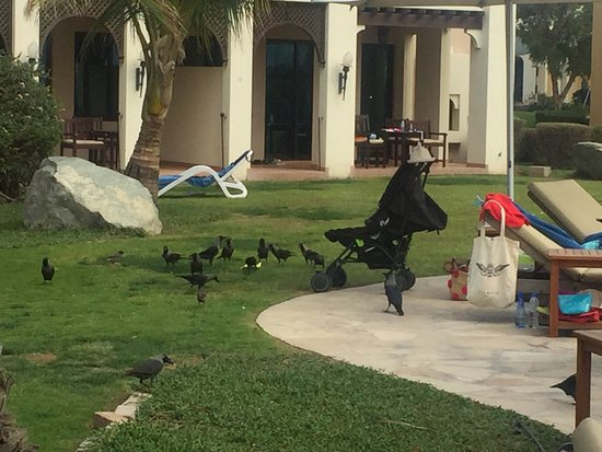 Hilton Al Hamra Beach & Golf Resort: Something needs to be done about these birds. They're bold and everywhere. This is an amazing ho