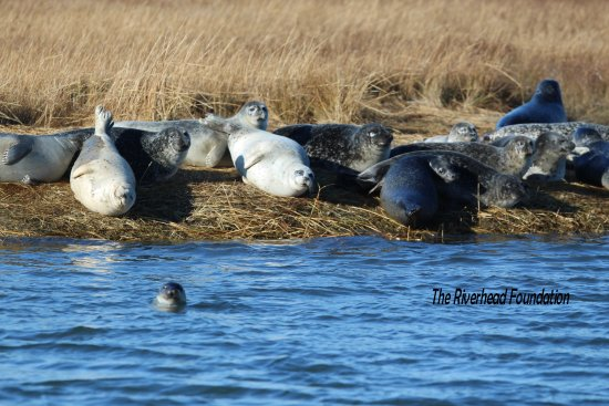 Freeport, NY: Seal Watching