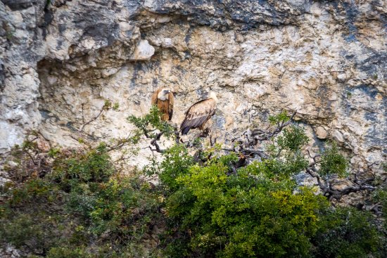 Beli, Croatia: Come and take a short boat drive to the white-headed griffon's natural habitat