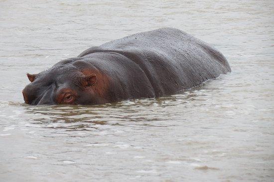 Santa Lúcia, África do Sul: nijlpaarden