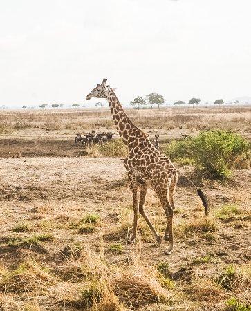 Morogoro, Tanzania: Girafe