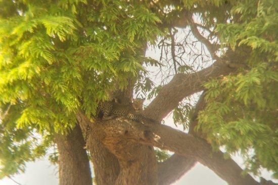 Morogoro, Tanzania: Léopard