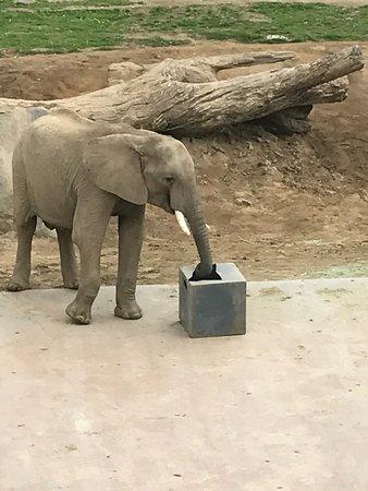 San Diego Zoo Safari Park: Elephant