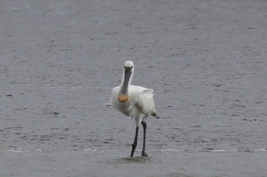 Arne, UK: Spoonbill photographed on Feb 21st 2017 on edge of Middlebere Lake.