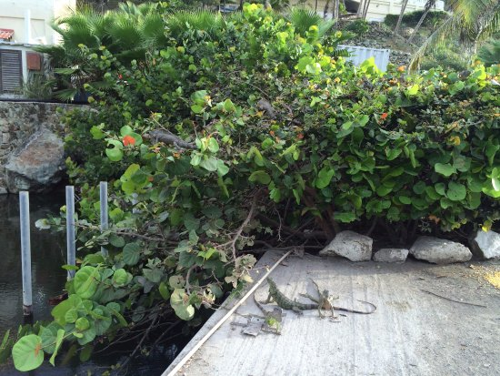 The Westin Dawn Beach Resort & Spa, St. Maarten: Lots of Iguanas In front of hotel (check out the bushes!)