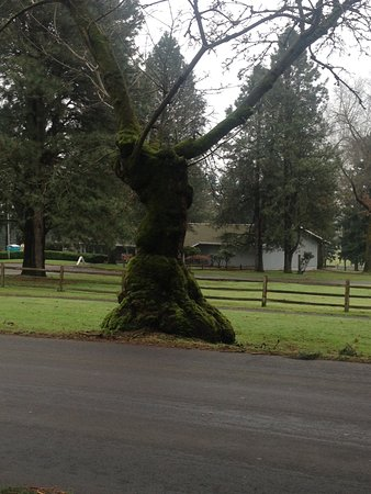 Vancouver, WA: Located on the main route with the row houses, I call this the praying tree.