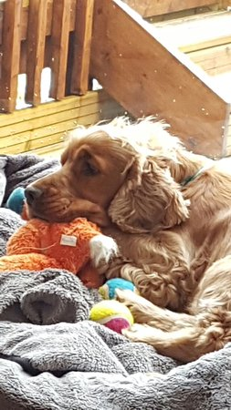 Callander, UK: Henry snuggled up after walking