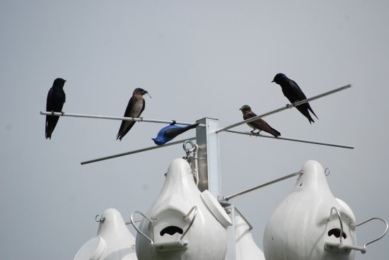 Augusta, Μίσιγκαν: The Kellogg Bird Sanctuary has an active Purple Martin rack in the summer.