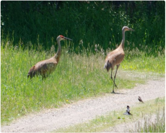 Augusta, Μίσιγκαν: Sandhill Cranes can sometimes be seen along the Lake Loop at the Kellogg Bird Sanctuary.