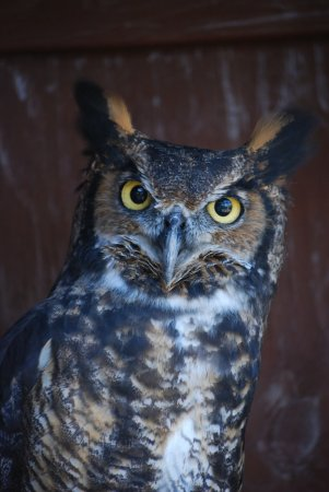 Augusta, Μίσιγκαν: Injured owls find a great home at the Kellogg Bird Sanctuary.