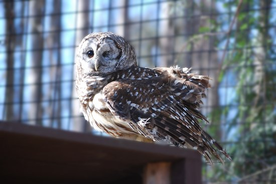 Augusta, Μίσιγκαν: The Kellogg Bird Sanctuary houses injured birds, like this one-eyed Barred Owl.