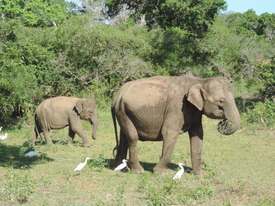 Tissamaharama, Sri Lanka: éléphants