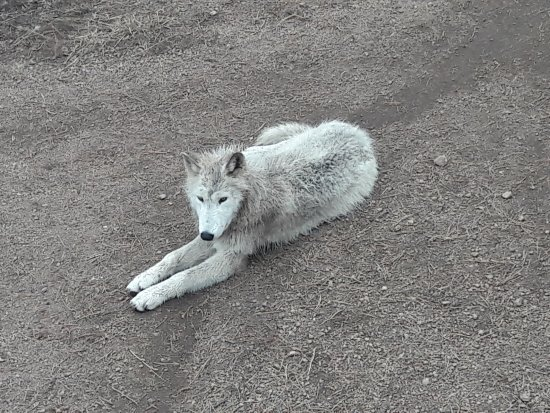 Divide, CO: Arctic Wolf puppy