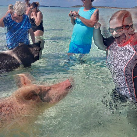 Sandals Emerald Bay Golf, Tennis and Spa Resort: Swimming, er, wading with pigs.