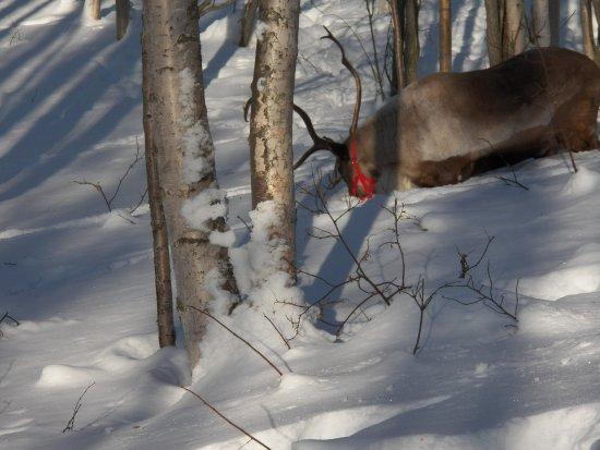 Running Reindeer Ranch : Beautiful animals