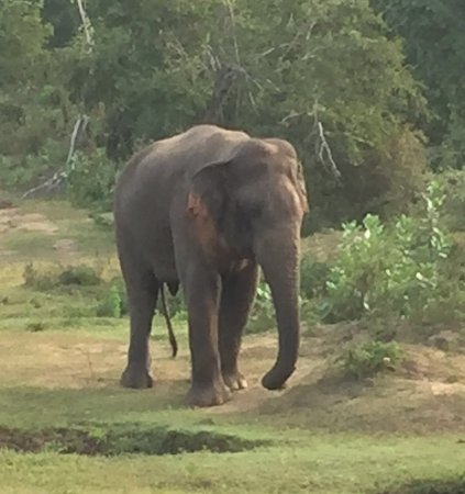 Uda Walawe National Park, Σρι Λάνκα: En stor og vred hanelefant