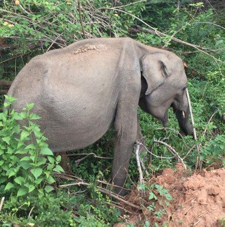 Uda Walawe National Park, Σρι Λάνκα: En hunelefant