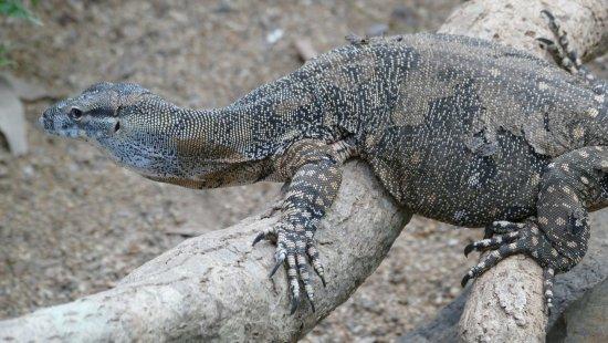 Kuranda, Coach, and Skyrail Tour: lizard at Kuranda RFS