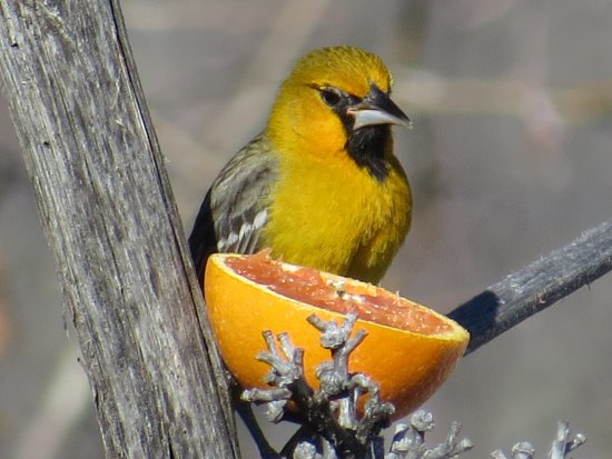 Portal, AZ: Nearby public bird feeders offer the chance to see unusual birds like this Streak-backed oriole.
